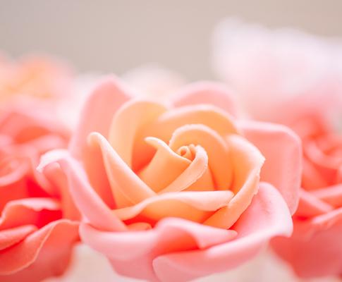 Sugar-Rose2